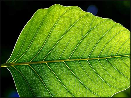 The leaf is the primary site of photosynthesis in plants